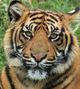 Tiger representing tiger king show and carole baskin